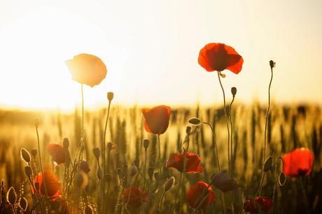 fiori-di-primavera-il-papavero-L-KY2gUF